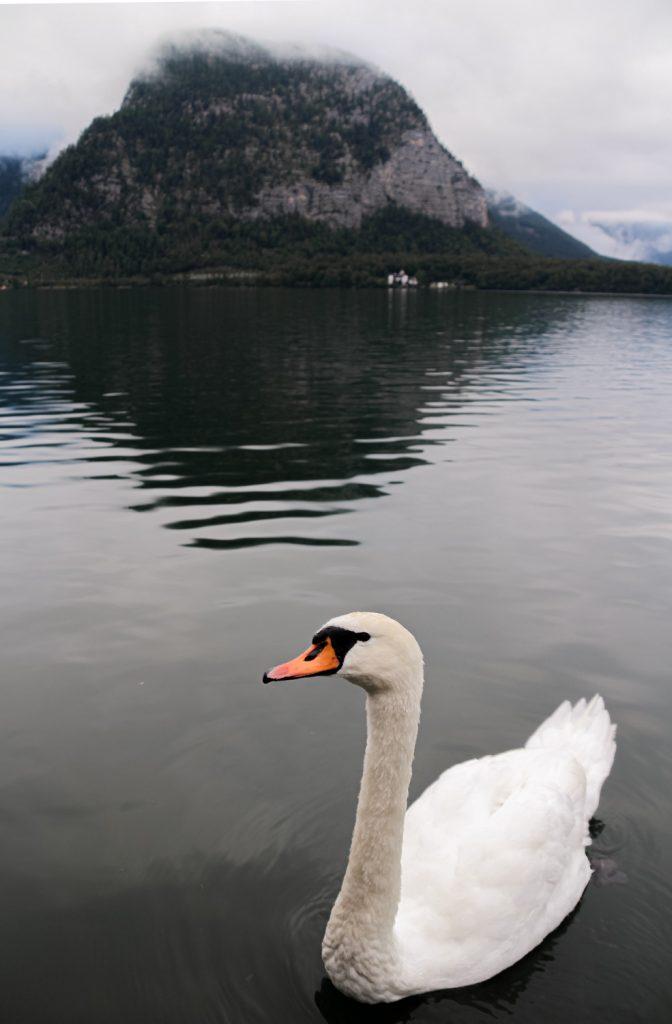 Hallstatt swan