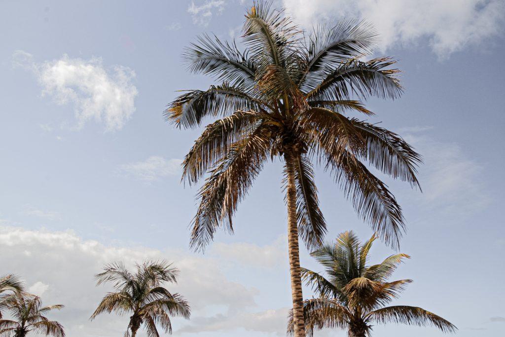 Palm-Tree-Lanzarote